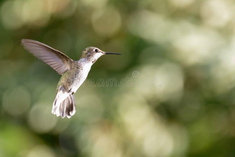 Vrouwelijke Anna ` s Kolibrie tijdens de vlucht stock afbeelding