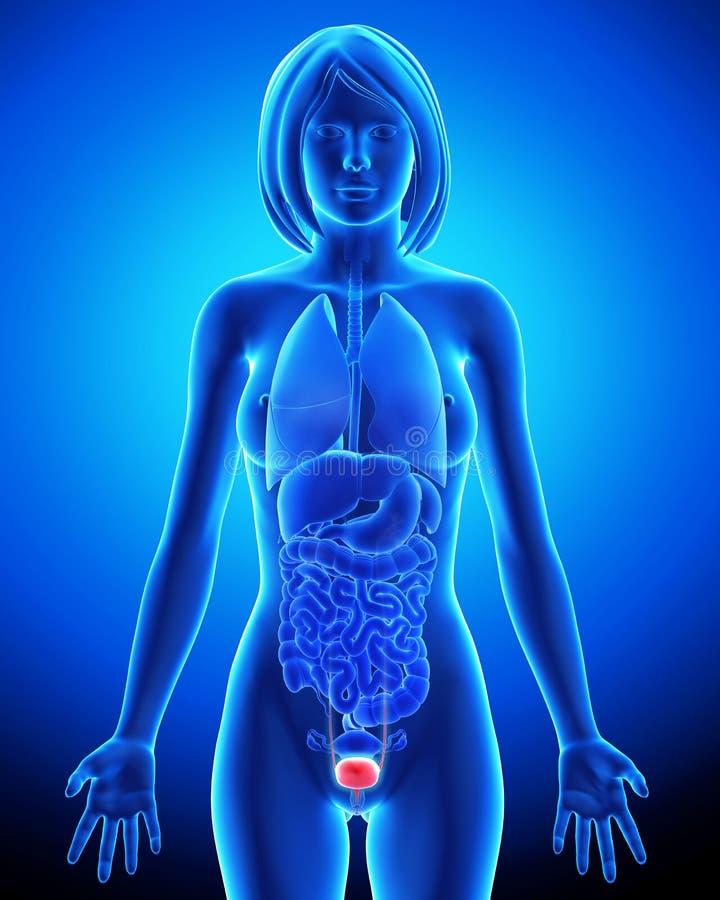 Vrouwelijke blaasanatomie in blauwe x-ray lijn vector illustratie