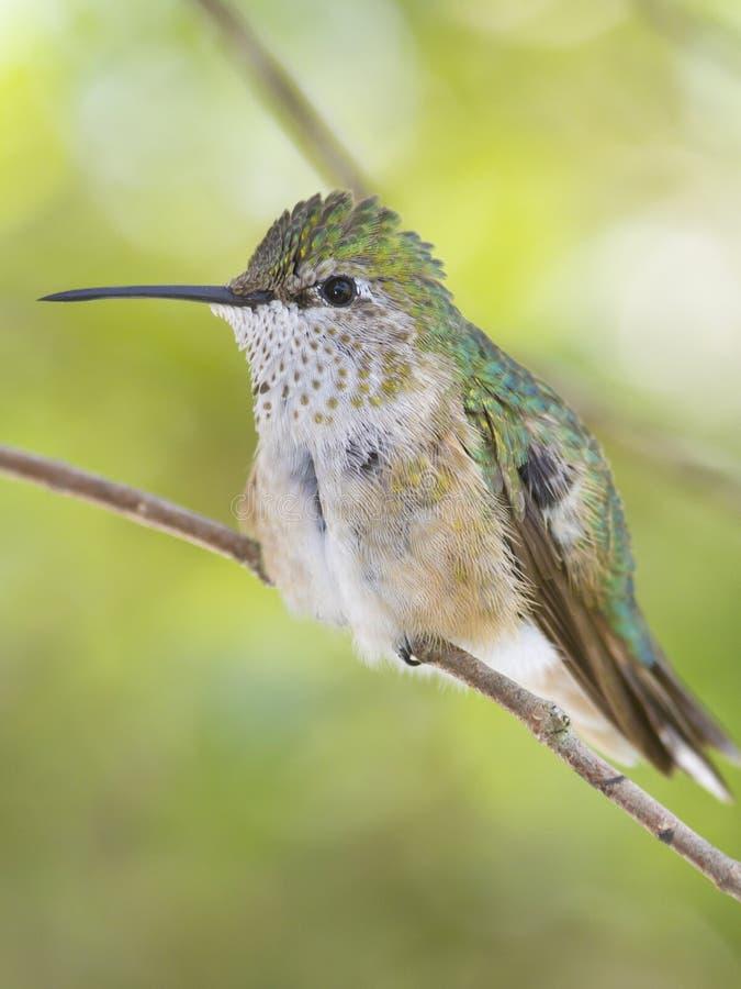 Vrouwelijke Brede de steel verwijderde van kolibrie stock foto's