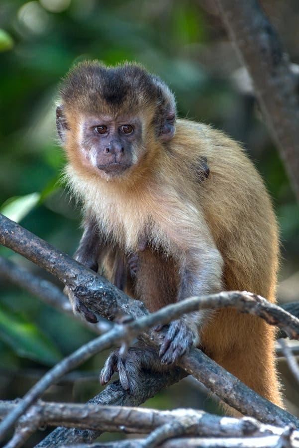 Vrouwelijke capuchin aap met een terug baby op haar stock afbeeldingen
