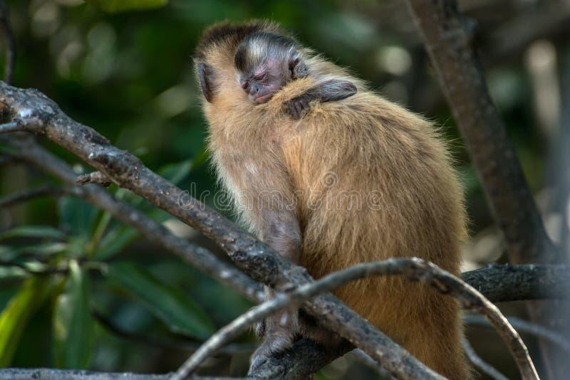 Vrouwelijke capuchin aap met een terug baby op haar stock fotografie