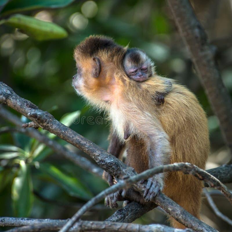 Vrouwelijke capuchin aap met een terug baby op haar royalty-vrije stock afbeelding