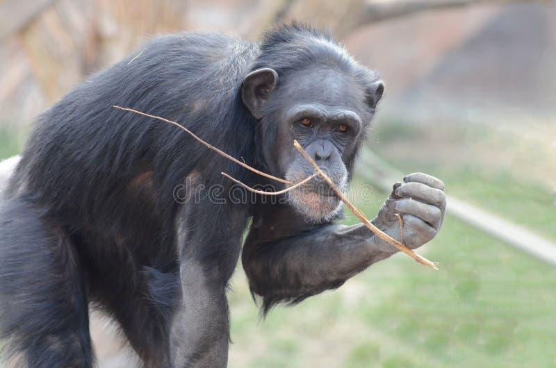 Vrouwelijke chimpansee en haar stok stock afbeeldingen