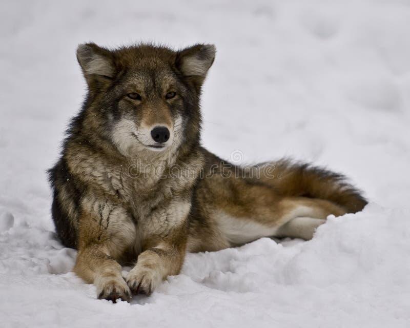 Vrouwelijke Coyote stock fotografie