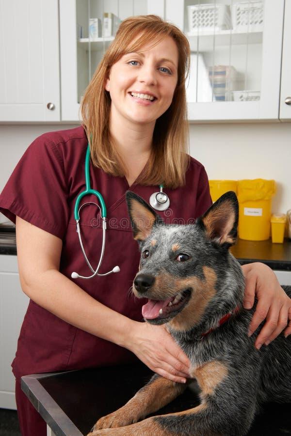 Vrouwelijke Dierenarts die Hond in Chirurgie onderzoeken stock fotografie
