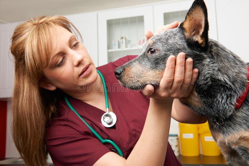 Vrouwelijke Dierenarts die Hond in Chirurgie onderzoeken royalty-vrije stock foto