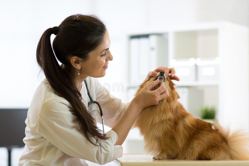 Vrouwelijke dierenarts die tanden van Spitz hond in kliniek onderzoeken stock foto