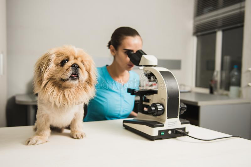 Vrouwelijke dierenarts met hond en microscoop stock fotografie