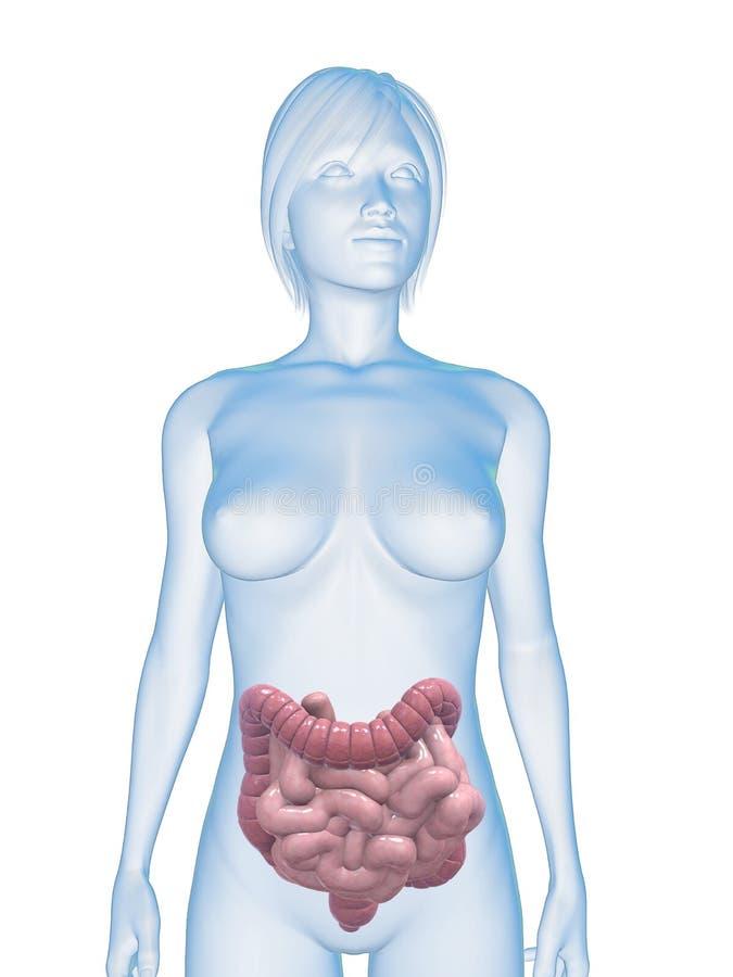 Vrouwelijke dubbelpunt en darmen stock illustratie