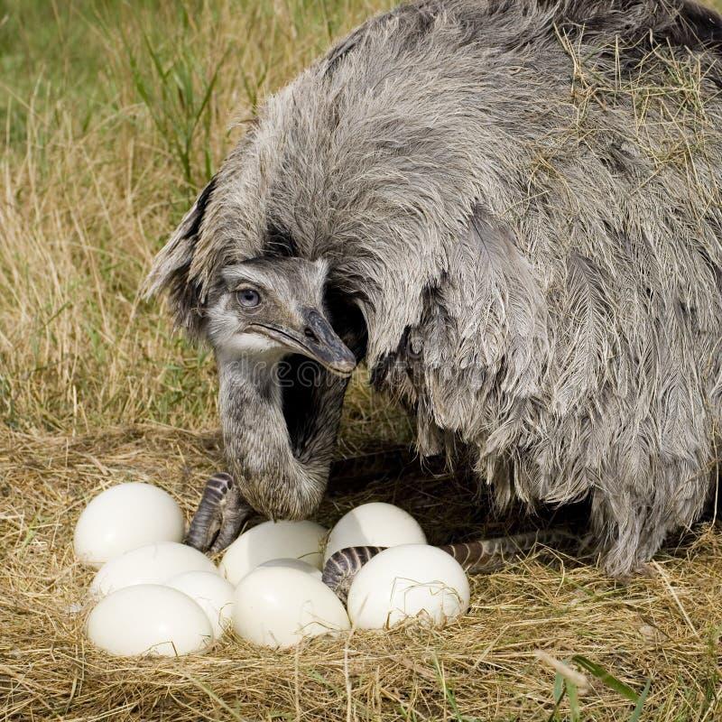 Vrouwelijke emoe stock foto's
