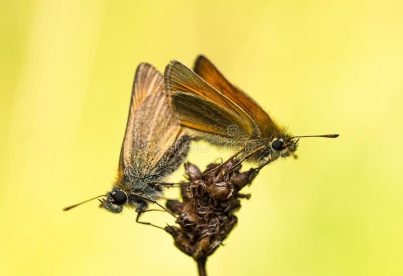 Vrouwelijke en Mannelijke Kleine Kapiteinsvlinders die 2 koppelen stock foto