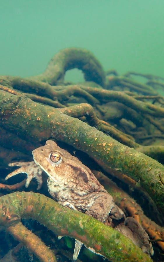 Vrouwelijke Europese pad, Bufo-bufo Macro, onderwater stock foto