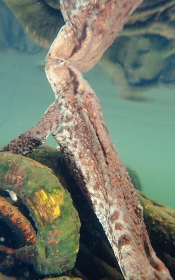 Vrouwelijke Europese pad, Bufo-bufo Macro, onderwater stock fotografie