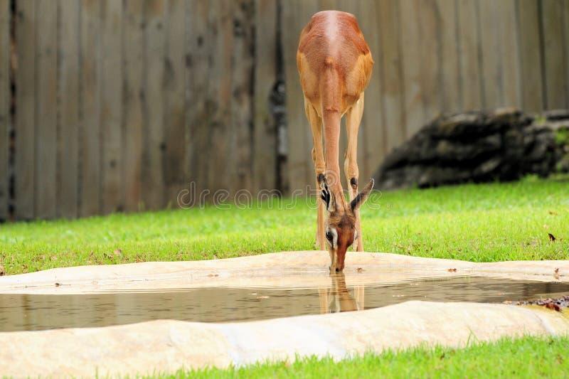 Vrouwelijke Gazelle stock foto's