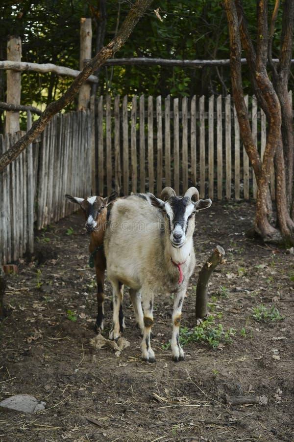 Vrouwelijke geit met hoornen en jonge geit in traditionele schuur royalty-vrije stock foto