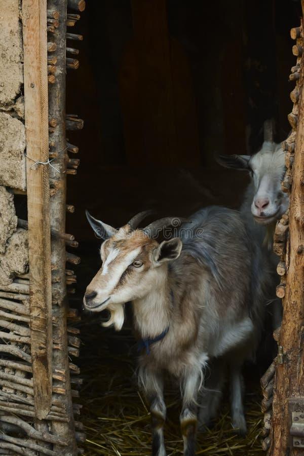 Vrouwelijke geit met hoornen in traditionele schuur stock fotografie