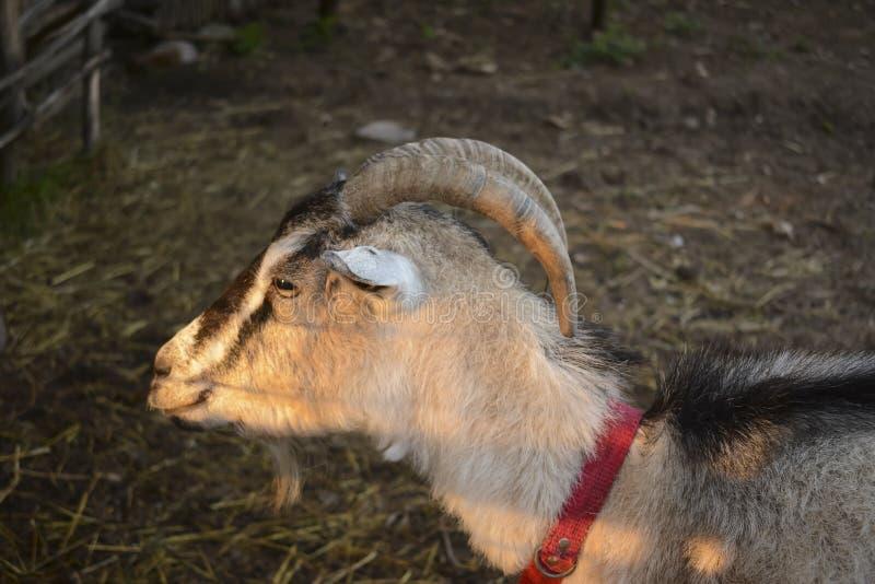 Vrouwelijke geit met hoornen in traditionele schuur stock afbeeldingen