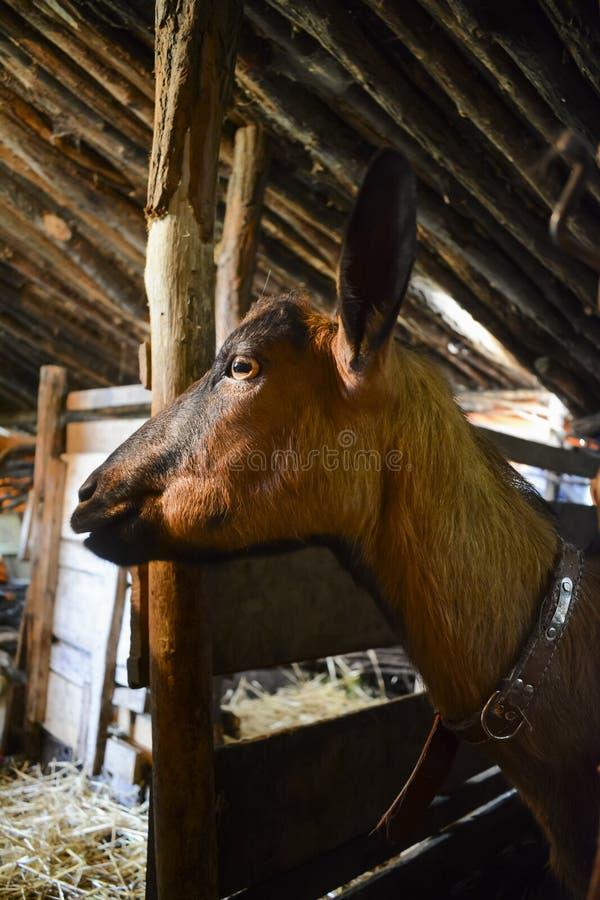 Vrouwelijke geit in traditionele schuur royalty-vrije stock foto's