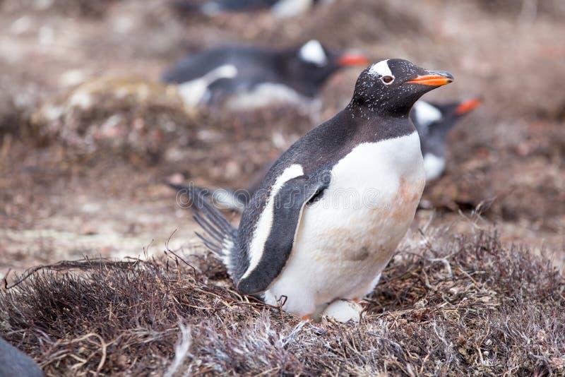 Vrouwelijke Gentoo-Pinguïn op nest met ei royalty-vrije stock afbeelding