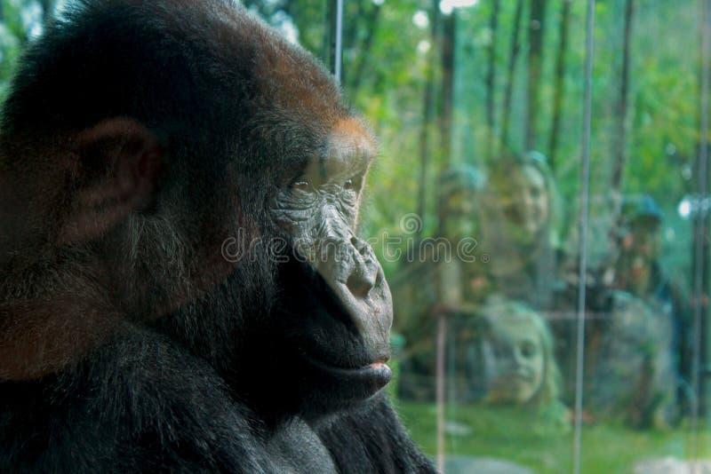 Vrouwelijke gorilla bij de Dierentuin royalty-vrije stock afbeelding