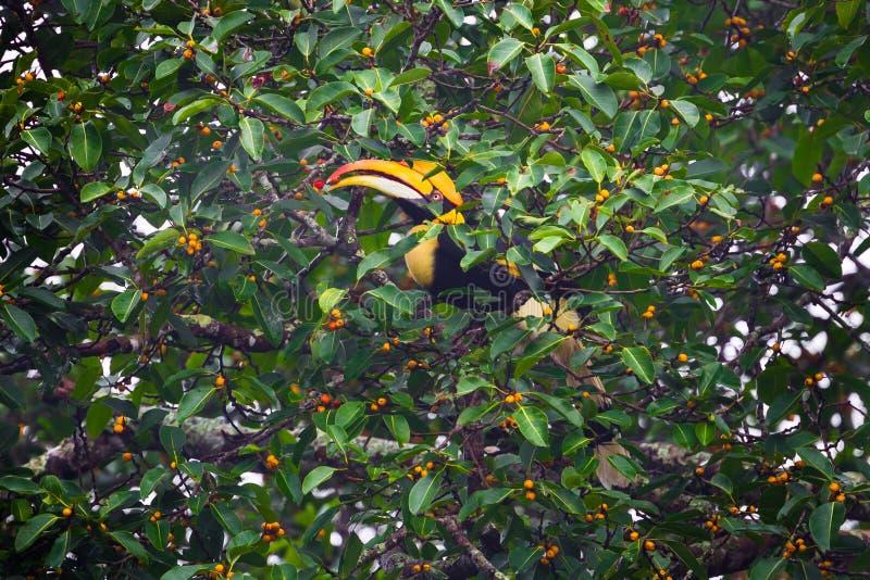 Vrouwelijke Grote hornbill (Buceros-bicornis) stock foto's