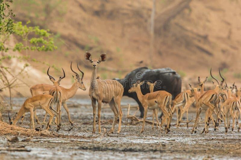 Vrouwelijke Grotere Kudu in midden van Impala royalty-vrije stock fotografie