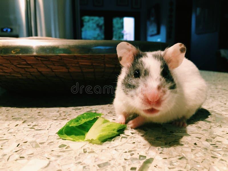 Vrouwelijke hamster stock afbeeldingen