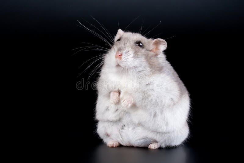 Vrouwelijke hamster Jungar royalty-vrije stock afbeeldingen
