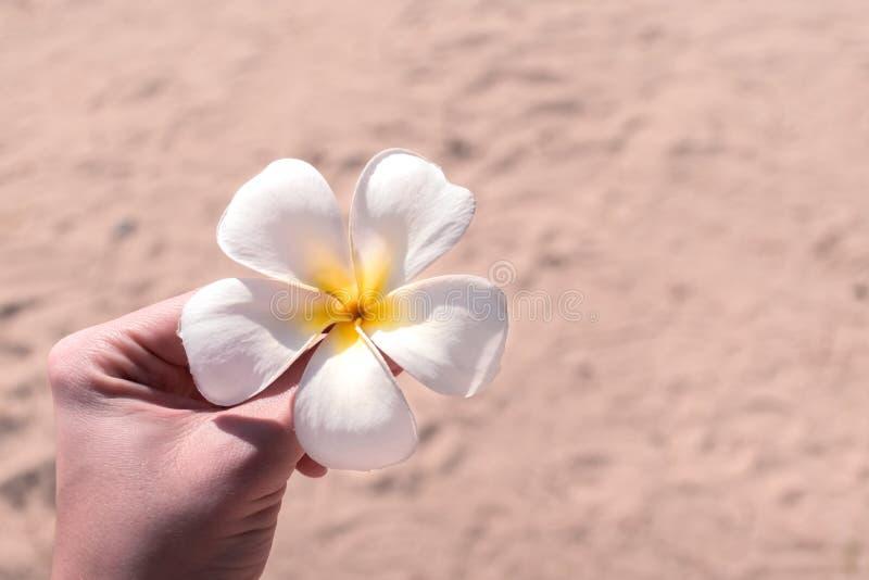 Vrouwelijke hand die de witte bloem van Plumeria Frangipani op een strand houden stock fotografie
