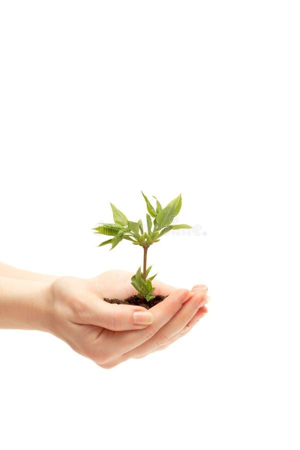 Vrouwelijke hand die een kleine boom houdt stock afbeeldingen