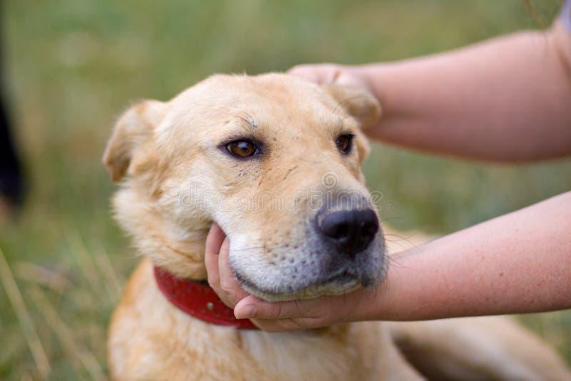 Vrouwelijke hand die hondhoofd tikken Liefde tussen hond en mens stock foto's