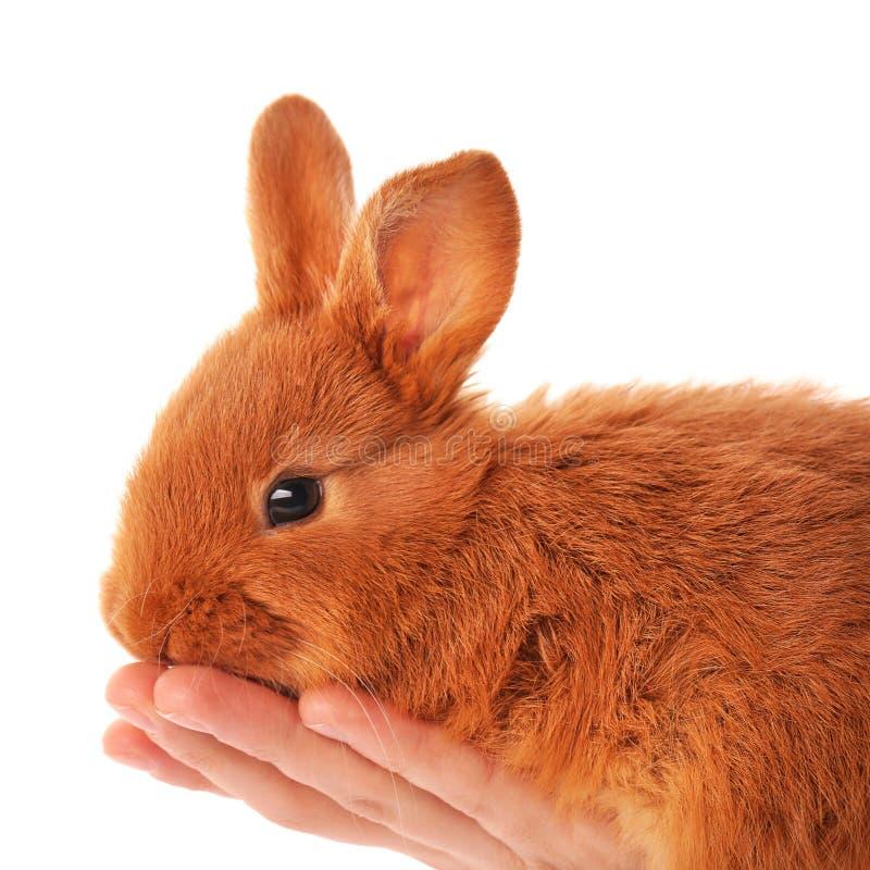 Vrouwelijke hand die leuk grappig konijn houden stock fotografie