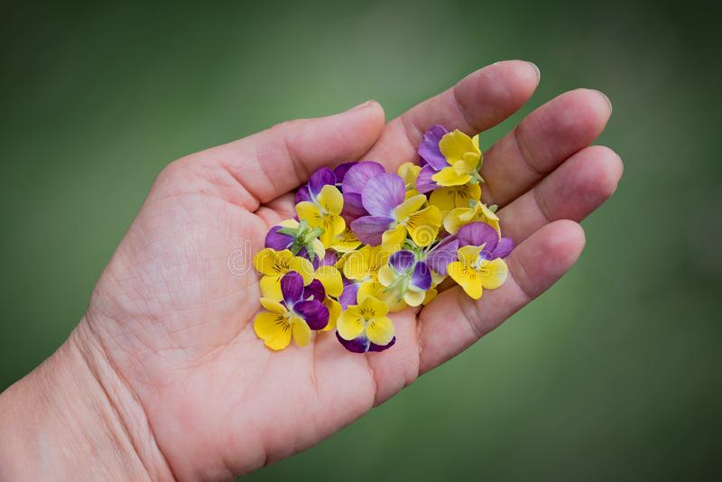 Vrouwelijke hand met altvioolbloesems stock fotografie