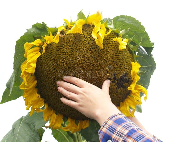 Vrouwelijke hand op een zonnebloem op een witte achtergrond stock afbeeldingen