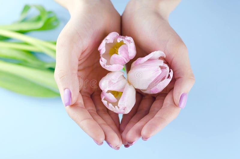 Vrouwelijke handen met de purpere tulpen van de manicuregreep royalty-vrije stock afbeelding