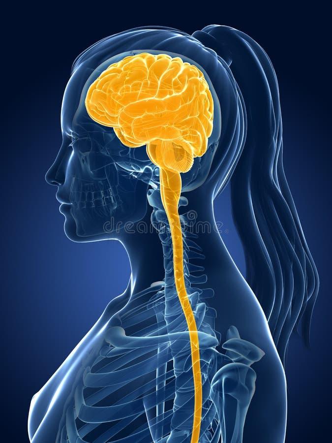 Vrouwelijke hersenen vector illustratie