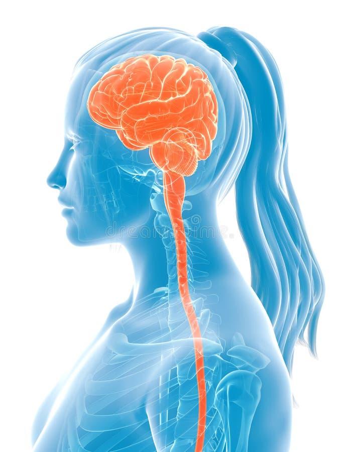 Vrouwelijke hersenen stock illustratie