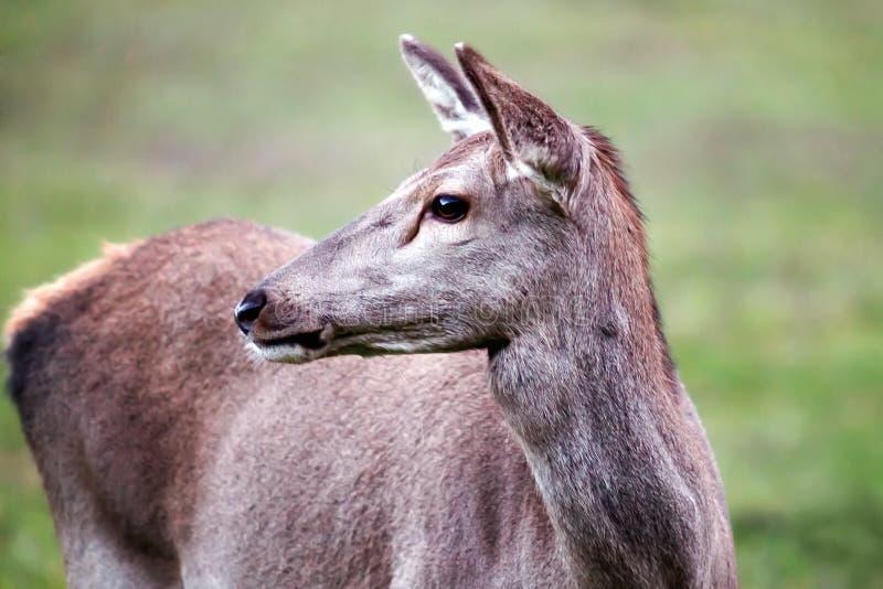 Vrouwelijke herten, close-up royalty-vrije stock foto's
