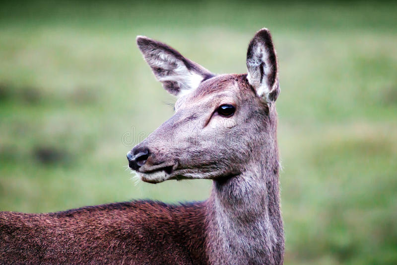 Vrouwelijke herten, close-up royalty-vrije stock afbeelding