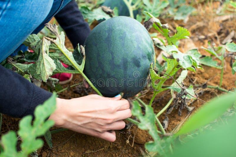 Vrouwelijke het plukken watermeloen op het gebied stock afbeelding