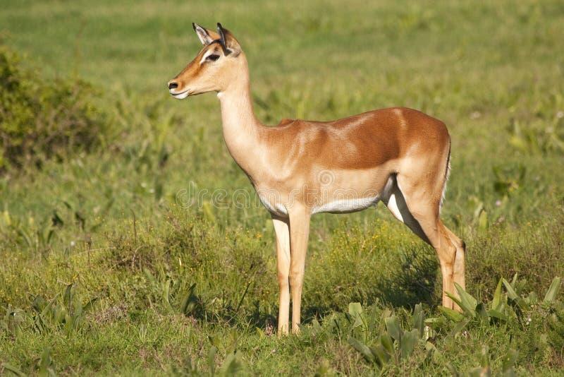 Vrouwelijke impala royalty-vrije stock fotografie