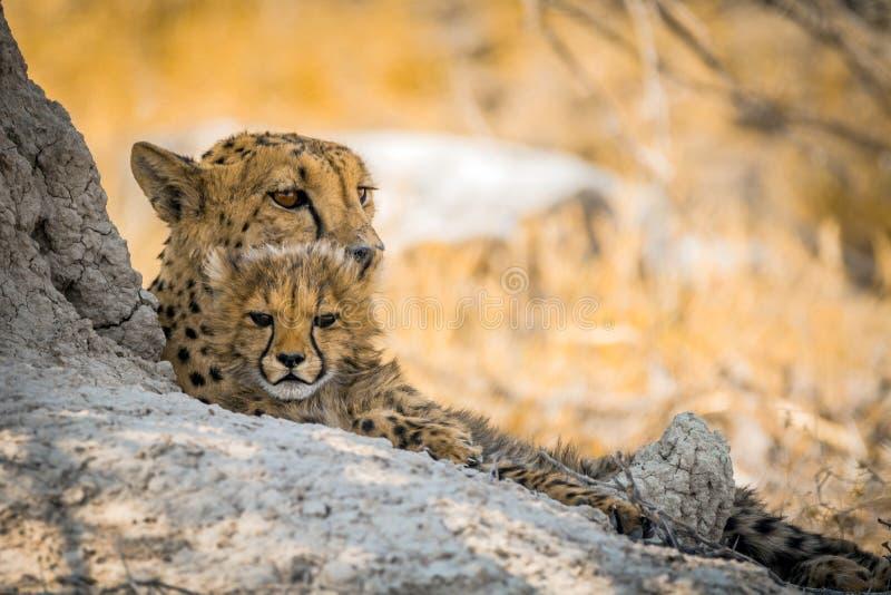 Vrouwelijke jachtluipaard met welp in etosha nationaal park stock foto