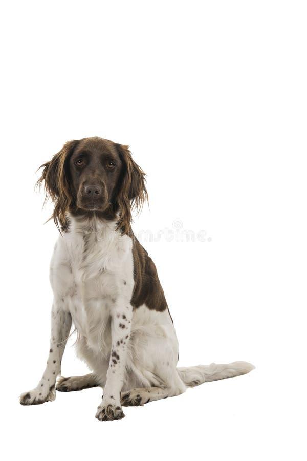 Vrouwelijke kleine die munsterlanderhond, heidewachtel, op een witte achtergrond wordt geïsoleerd stock afbeeldingen