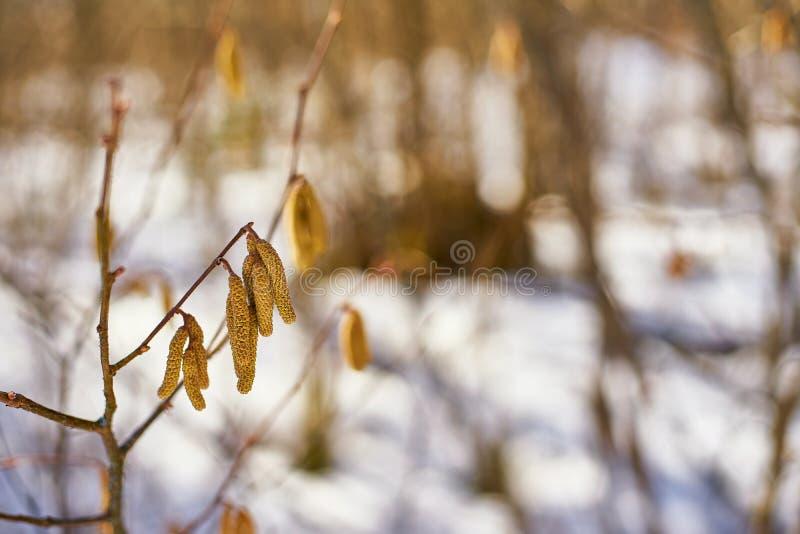 Vrouwelijke knop van hazelaarbomen in een sneeuwmilieu stock foto