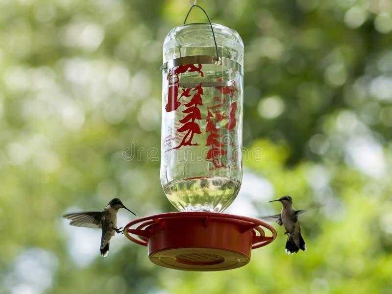 Vrouwelijke kolibries bij voeder stock foto's
