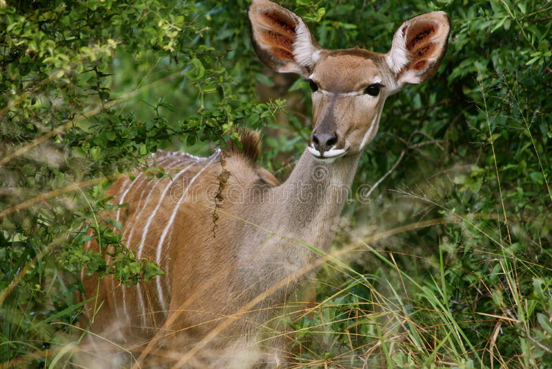 Vrouwelijke Kudu, Zuid-Afrika stock afbeelding