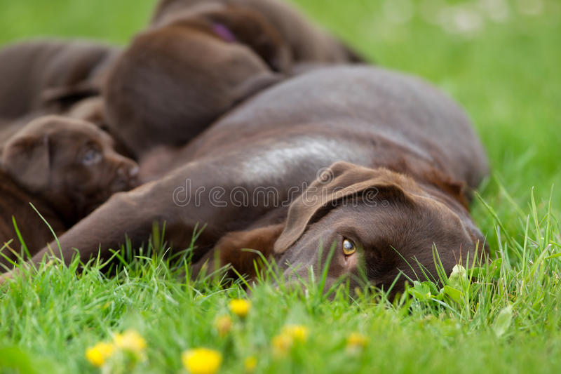 Vrouwelijke labrador retriever-hond met puppy royalty-vrije stock afbeeldingen