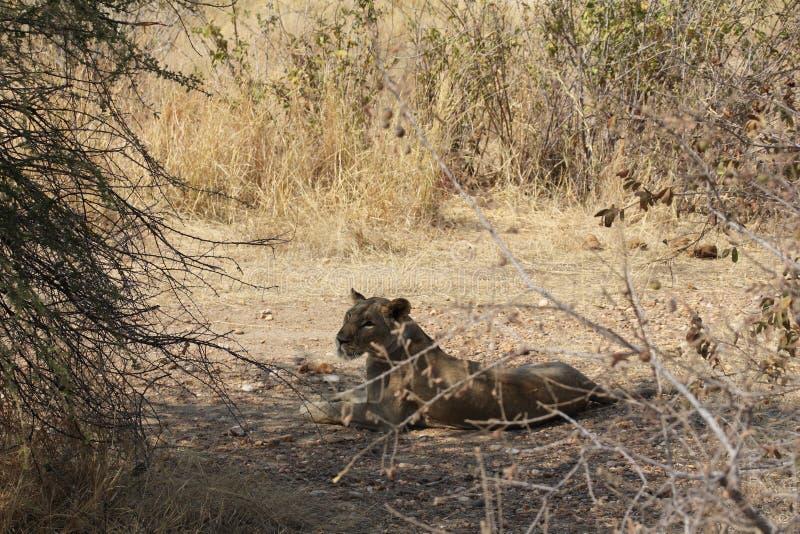 Vrouwelijke leeuw na het krijgen van voedsel bij ruaha nationaal park Tanzania stock afbeelding