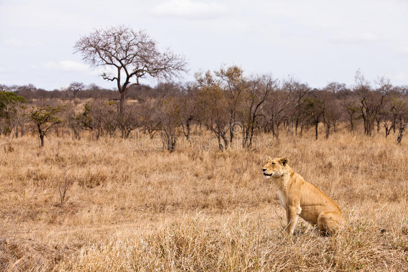 Vrouwelijke leeuwzitting in het gras royalty-vrije stock afbeeldingen