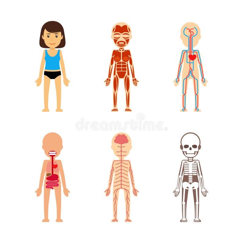 Vrouwelijke lichaamsanatomie royalty-vrije illustratie